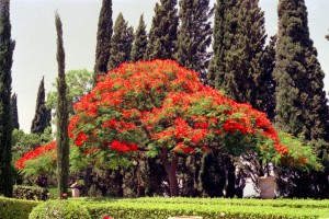 The flamboyant tree near the Shrine of the Báb