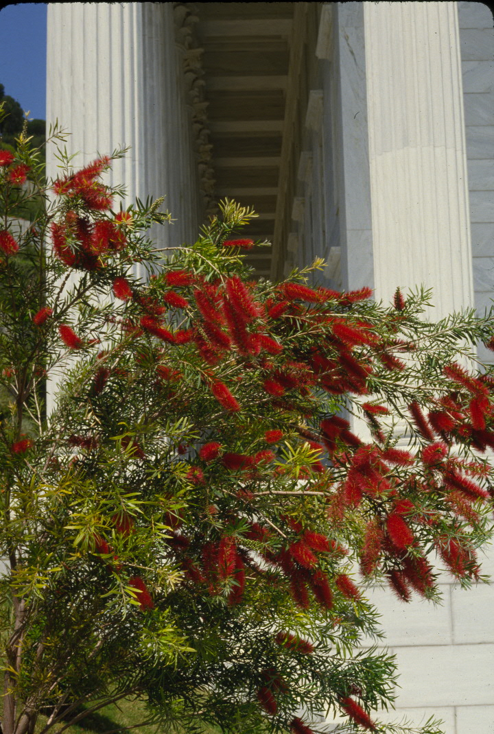A bottle-brush plant beside the Seat of the Universal House of Justice in Haifa, Israel