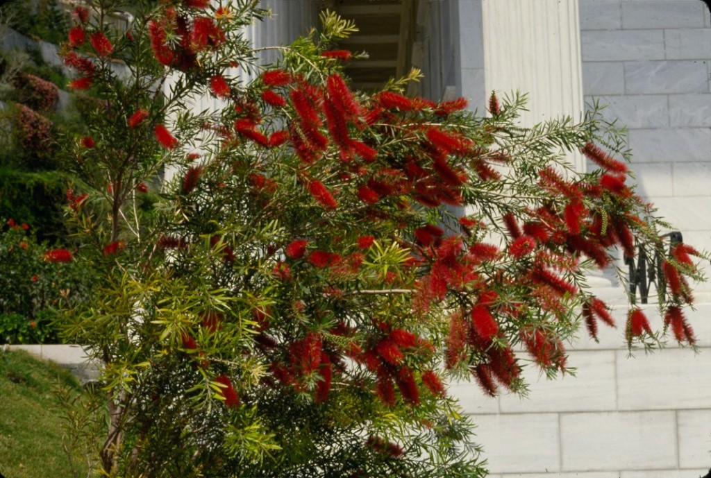 A bottlebrush plant beside the Seat of the Universal House of Justice in Haifa, Israel