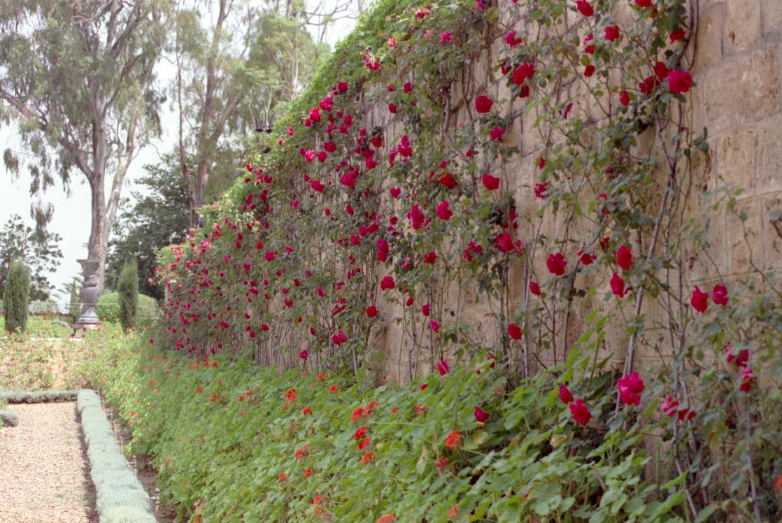 A wall of roses at Bahjí, the location of Bahá'u'lláh's Shrine, the point of adoration for the Bahá'ís of the world
